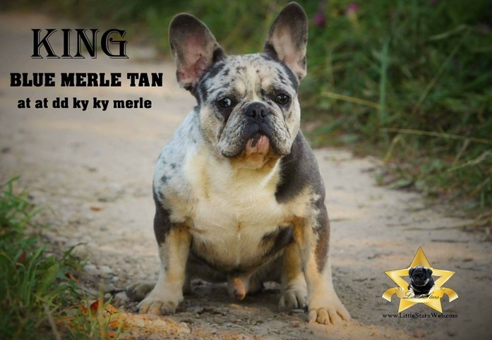 King french bulldog male 0067