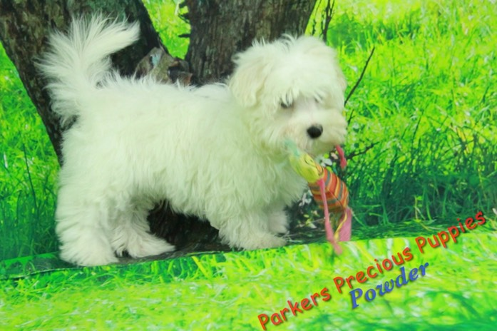 Powder4 parkerspreciouspuppies .jpg