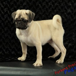 Pug34 parkerspreciouspuppies .jpg
